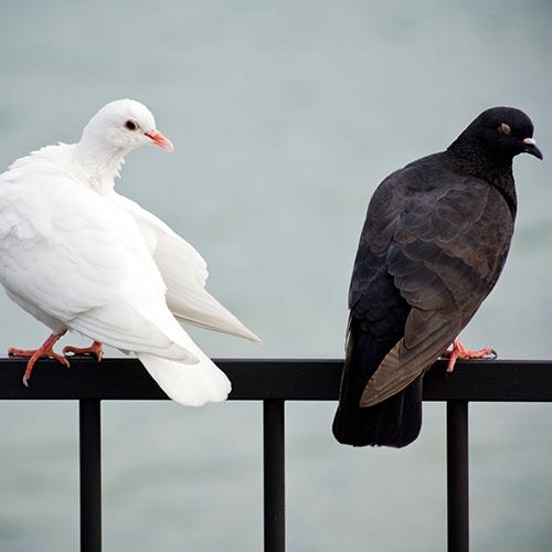 Eine schwarze und eine weiße Taube im Streit